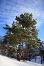 Winter pine-tree Royalty Free Stock Image