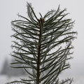 Winter pinetree sapling Royalty Free Stock Photo