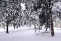 Winter pinewood the scenery of pine forest Royalty Free Stock Image