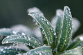Winter Plant Droplets Royalty Free Stock Photo