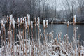 Winter pussy willows at a pond with snow on them Royalty Free Stock Photography