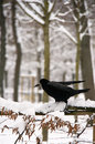 Winter raven a pitch black tries to land on a snow covered fence Royalty Free Stock Photography