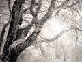 Winter rays of the sun shining through the branches of a tree covered with snow Royalty Free Stock Photos