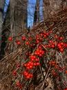 Winter: red berries oriental bittersweet Royalty Free Stock Photo