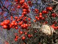 Winter: red berries and seed head Stock Photos