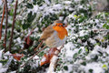 Winter Robin Royalty Free Stock Photos