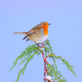 Winter robin bird european on snow branch Royalty Free Stock Photo