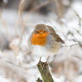 Winter robin bird in a setting Stock Photo