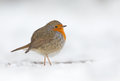 Winter robin bird in a setting Royalty Free Stock Photo