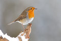 Winter Robin bird Royalty Free Stock Photo