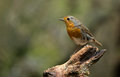 Winter robin on a tree stump Royalty Free Stock Photo
