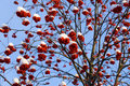 Winter rowan Royalty Free Stock Images
