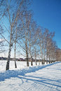 Winter in russia the birch grove Royalty Free Stock Photos