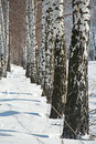 Winter in russia the birch grove Royalty Free Stock Images