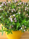 Winter savory in flowerpot Stock Photography