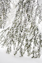 Winter scene with frozen conifer branches covered in hoarfrost Stock Photography
