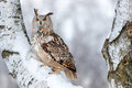 Winter scene with owl. Big Eastern Siberian Eagle Owl, Bubo bubo sibiricus, sitting on hillock with snow in the forest. Birch tree Royalty Free Stock Photo