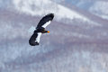Winter scene with snow and eagle. Mountain winter scenery with bird. Steller`s sea eagle, flying bird of prey, with blue sky in ba
