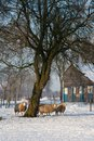 Winter Sheep Stock Photo