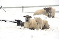 Winter sheep ewe and lamb during a storm in the umpqua valley near roseburg oregon Royalty Free Stock Photography