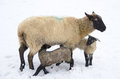 Winter sheep ewe and lamb during a storm in the umpqua valley near roseburg oregon Royalty Free Stock Photos