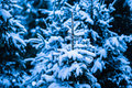 Winter snow christmas tree fresh covered spruce trees in the forest in snowstorm dark green blue and white colors of the Royalty Free Stock Photos