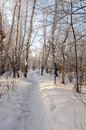 Winter snow covered birch forest siberia Royalty Free Stock Photo