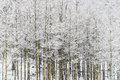Winter snow falling on Aspen trees in san isabel national forest Royalty Free Stock Photo