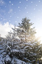Winter snow falling over pine trees Stock Photography