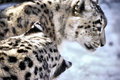 Winter Snow Leopard Stock Images