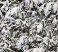 Winter snow on pine Stock Image