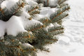 Winter snow on pine branches with tiny natural cones at the tips over a background of pristine white frsh ion the ground Stock Photos