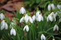 Winter snowdrop flowers cluster of white in early spring Royalty Free Stock Image