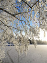 Winter snowy branches Royalty Free Stock Photography