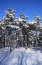 Winter snowy forest Royalty Free Stock Photo