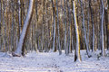 Winter snowy forest trees background Royalty Free Stock Image