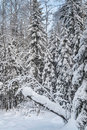 Winter snowy forest under the blue sky fabulous trees snow against bright in northern russia Stock Images
