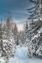 Winter snowy forest under the blue sky fabulous trees snow against bright in northern russia Stock Photo