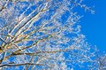 Winter species of snow-covered tree branches against a blue clear frosty sky. Royalty Free Stock Photo