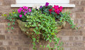 Winter and spring flowering hanging basket with trailing ivy cyc colorful cyclamens Stock Images