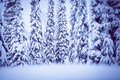 Winter spruce Stock Images