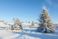 Winter spruce tree with hoarfrost in landscape Stock Image