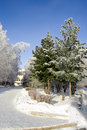 Winter spruce trees alley Stock Photography