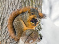 Winter squirrel a fox perched in a tree nibbles on a walnut in a snowy landscape photographed in central indiana Royalty Free Stock Image