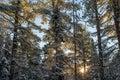 Winter Sunrise Through Pines