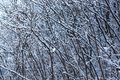 Winter texture of threes Royalty Free Stock Photo