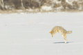 During winter time coyotes need do use different hunting strategies to get their prey this coyotes was listening to movement made Stock Photos