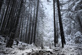 Winter time inside the forest on a misty day Royalty Free Stock Photo