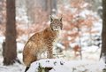 Winter time nice majestic lynx in forest Stock Photography