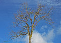 Winter tree against a blue sky Royalty Free Stock Photo